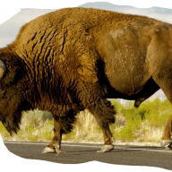 Elder Bison Distribution